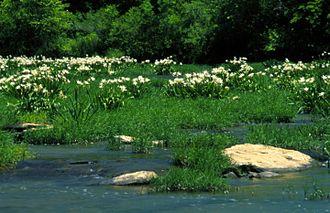 """نیلوفرهای کاهابا (کوروناریا هایمنوکالیس) در رودخانهٔ کاهابا در """"پناهگاه حیات وحش ملی رودخانهٔ کاهابا."""