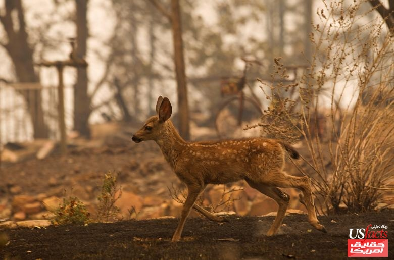 A fawn runs past a burned house as fire fighters battle the Carr Fire west of Redding