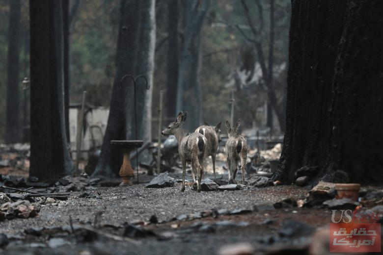 Deers are seen on a property damaged by the Camp Fire in Paradise
